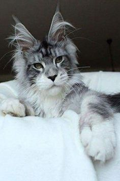 What is the Average Maine Coon Cat Lifespan? Learn how old Maine Coons can becom… What is the Average Maine Coon Cat Lifespan? Learn how old Maine Coons can become and ways in which you can improve or maintain your cats health. Gato Maine, Maine Coon Kittens, Cute Kittens, Cats And Kittens, Cats Meowing, Kittens Playing, Old Cats, Pretty Cats, Beautiful Cats