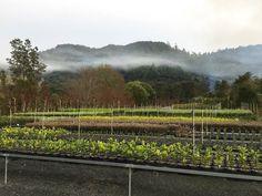 Twining Valley at Valley Nursery, Nurseries, Hedges, Vineyard, Outdoor, Babies Rooms, Outdoors, Child Room, Vine Yard