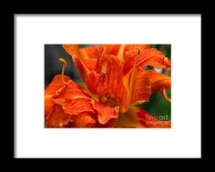lily, orange, flower, bloom, blossom, nature, garden, michiale, schneider, photography