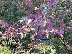Callicarpa, un bijou de l'automne http://www.pariscotejardin.fr/2016/10/callicarpa-un-bijou-de-l-automne/