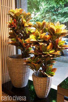 Composizione di piante di croton in cesti di midollino intrecciato a mano.carlocivera.org #croton #cestomidollino
