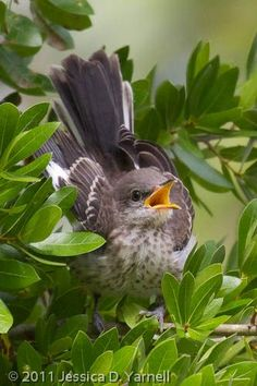 Mockingbird State Bird Of Texas