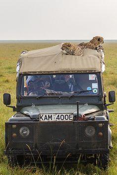Cheetahs on LandRover in the Masai Mara, Kenya by Robert Muckley