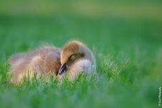 """""""Down"""" for a nap by Judee Schofield on YouPic Canon Eos Rebel, Nature, Animals, Naturaleza, Animales, Animaux, Animal, Off Grid, Animais"""