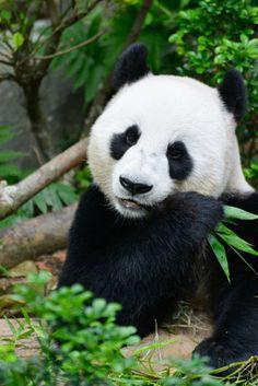 Panda - foto