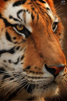 Tiger ~ by: Braa Tayara Beautiful Cats, Animals Beautiful, Beautiful Things, Big Cats, Cool Cats, Animals And Pets, Cute Animals, Large Animals, Tiger Love
