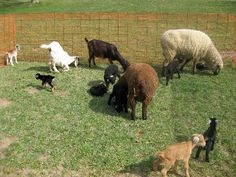 Goats and lambs and kids