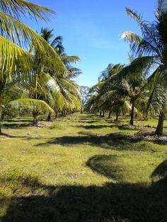 El Salvador Coconut Grove