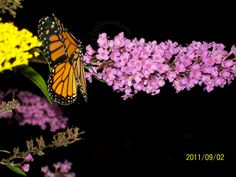 Monarch Butterfly on Butterfly Bush. Daytime shot believe it or not.  Wall Art, Paintings, Photography, Even Handmade Hand painted Eggs at EggSpecially.com. Check us out!