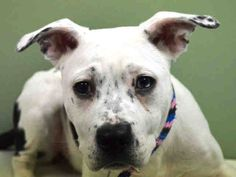 SAFE 3/16/15 --- Manhattan Center  MEADOW - A1028785   FEMALE, WHITE / BLACK, AMERICAN STAFF MIX, 8 mos STRAY - STRAY WAIT, NO HOLD Reason STRAY  Intake condition EXAM REQ Intake Date 02/25/2015 https://www.facebook.com/photo.php?fbid=968409673171912