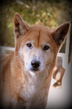 Did someone say birthday cake? Kuma has just turned 12 and is one of Healesville Sanctuary's best loved Dingoes.  We think he's still one of our most handsome boys, don't you?
