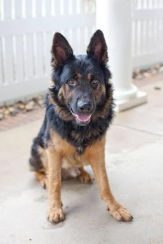 Maxim is an adoptable German Shepherd Dog searching for a forever family near Concord, GA. Use Petfinder to find adoptable pets in your area.