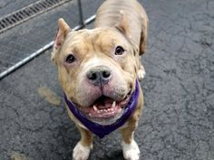 Manhattan Center BAM BAM CRUZ aka PEANUTBUTTER – A1033269 ***RETURNED 05/21/15*** NEUTERED MALE, TAN / WHITE, AM PIT BULL TER MIX, 3 yrs OWNER SUR – EVALUATE, HOLD RELEASED Reason OWNER SICK Intake condition UNSPECIFIE Intake Date 05/21/2015