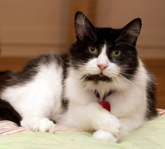 SONNY is an adoptable Domestic Long Hair-Black And White Cat in Grand Rapids, MI. Gorgeous goofball SONNY (born in January of 2003) is definitely a ray of sunshine in our lives! Ever since he came to ...