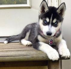 Wonderful All About The Siberian Husky Ideas. Prodigious All About The Siberian Husky Ideas. Cute Husky Puppies, Husky Puppy, Huskies Puppies, Vizsla Puppies, Lab Puppies, Rottweiler Pups, Pomeranian Puppy, Pet Puppy, The Animals