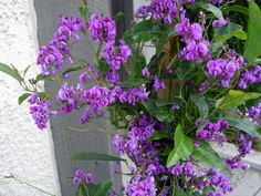 Hardenbergia Violacea Climber