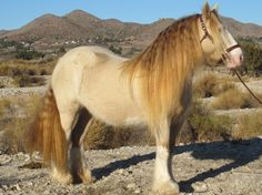 cremello and pearl genes in this beautiful gypsy horse mare