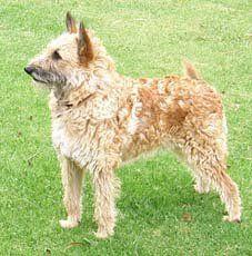 laekenois dog photo | Belgian Shepherd Laekenois, owned by Miss Karen Edwards (Australia ...