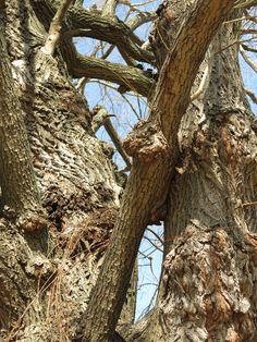 Sister trees.