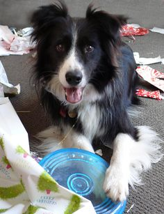 Scoota happy with his new frisbee