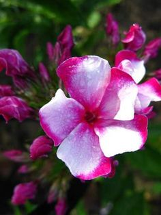 Phlox (Paniculata hybr.) Neon 'Flare'
