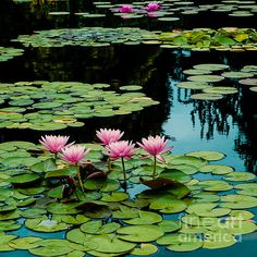 Magenta Water Lily Pads by John Bartelt Floral Photography, Landscape Photography, Lotus Flower Pictures, Lotus Flowers, Pond Painting, Lotus Pond, Floating Flowers, Lily Pond, Landscaping With Rocks