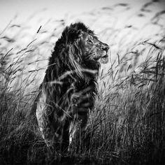 Ritratti in bianco e nero di fauna selvatica celebrano l'individualità degli animali africani