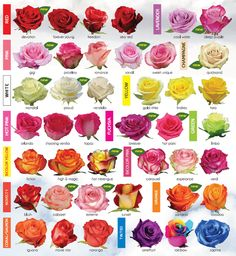 Rose varieties according to color.