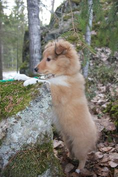 The Shetland Sheepdog originated in the and its ancestors were from Scotland, which worked as herding dogs. These early dogs were fairly Collie Puppies, Collie Dog, Mini Collie, Cute Little Puppies, Cute Puppies, Pet Dogs, Sheep Dogs, Rough Collie, Kittens And Puppies