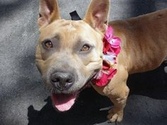 ~~PRETTY 2 YR OLD GAL TO BE DESTROYED 7/23/14~~ Manhattan Center -P  My name is GEORGIA. My Animal ID # is A1006969. I am a female cream and tan pit bull mix. The shelter thinks I am about 2 YEARS  I came in the shelter as a STRAY on 07/16/2014 from NY 11207, owner surrender reason stated was STRAY.