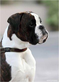 A Fabulous Boxer dog - Anabolic von Jess Box