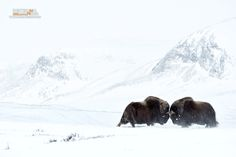 https://flic.kr/p/UUcLeB | Muskoxen | Ovibos moschatus, Bue muschiato - Muskox  Dovrefjell NP, Norway
