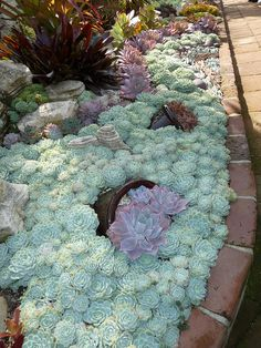 Oh my I need this it looks like the ocean. How awesome would that be in a garden. Succulent border - Massed Echeveria elegans with pots of what looks like Echeveria ' Perle von Nurnberg'
