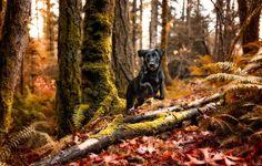 Обои картинки фото чёрная собачка, лес, осень
