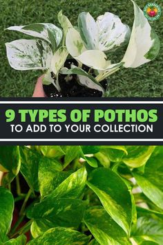 There are many more types of pothos than the standard golden variety so learn 9 types you should add to your garden! There are many more types of pothos than the standard golden variety so learn 9 types you should add to your garden! Big Indoor Plants, Air Plants, Cactus Plants, Pathos Plant, Pothos Plant Care, Pothos Vine, Marble Queen Pothos, Neon Pothos, Golden Pothos