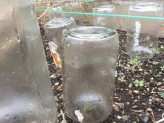 Using jars to keep the plants safe. Portable greenhouse for your garden. #byuhgarden