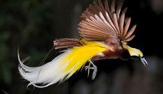 Bird of paradise in flight. Photo of bird of paradise in flight , Wildlife Photography Tips, Nature Photography, Animal Photography, Paradise Plant, Most Beautiful Birds, Bird Wings, San Diego Zoo, Animal Species, Bird Pictures