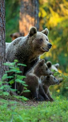 Momma Grizzly Bear and 2 cubs! Photo Ours, Photo Animaliere, Mundo Animal, My Animal, Bear Pictures, Animal Pictures, Nature Animals, Animals And Pets, Wild Animals