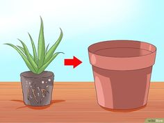 How to Care for Your Aloe Vera Plant: 10 Steps (with Pictures)