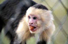White Face Capuchin. Capuchin monkey - Cool and Interesting Facts for Kids