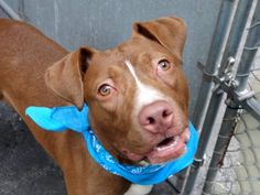 "ROSCOE - A1036532 - - Manhattan  TO BE DESTROYED –  05/23/15 A volunteer writes: Young Roscoe lived with kids of all ages and an elderly lady Shepherd. Although housetrained, crate trained, very affectionate and a ""good listener"", his family decided that they had no time anymore for a puppy they owned since the tender age of one month. Indeed, youngsters (dogs and kids alike) consume a lot of our energy, take a huge chunk of our ""free"" time and are"