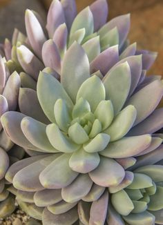 Sedeveria 'Lilac mist' - clumps to - a Sedeveria x Echeveria hybrid by Renee O'Connell - patent date Sept. Succulent Landscaping, Succulent Gardening, Garden Plants, House Plants, Organic Gardening, Types Of Succulents, Cacti And Succulents, Planting Succulents, Cactus Planta