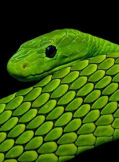 Green Mamba by Wosch.