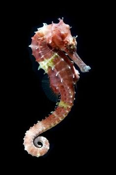 Photo about Seahorse (Hippocampus) swimming Isolated on black. Image of great, tropical, background - 25980581 Ocean Art, Ocean Life, Magical Creatures, Beautiful Creatures, Seahorse Outline, Sea Creatures Drawing, Underwater Animals, Dragons, Sea Dragon