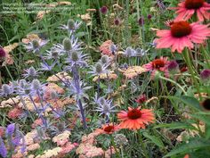 Amethyst Sea Holly 'Sapphire Blue' (Eryngium ) with yarrow and coneflower
