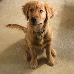Brinkley the Golden Retriever