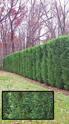 Leyland Cypress or Thuja Green Giant evergreens to create a privacy hedge