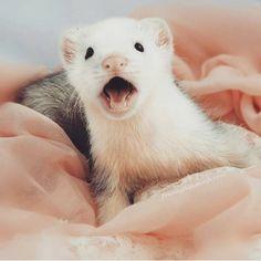 Sweet ferret