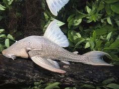 animales-raros-pez-gato-comedor-de-madera