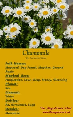 Chamomile Magical Properties - The Magical Circle School - www.themagicalcircle.net